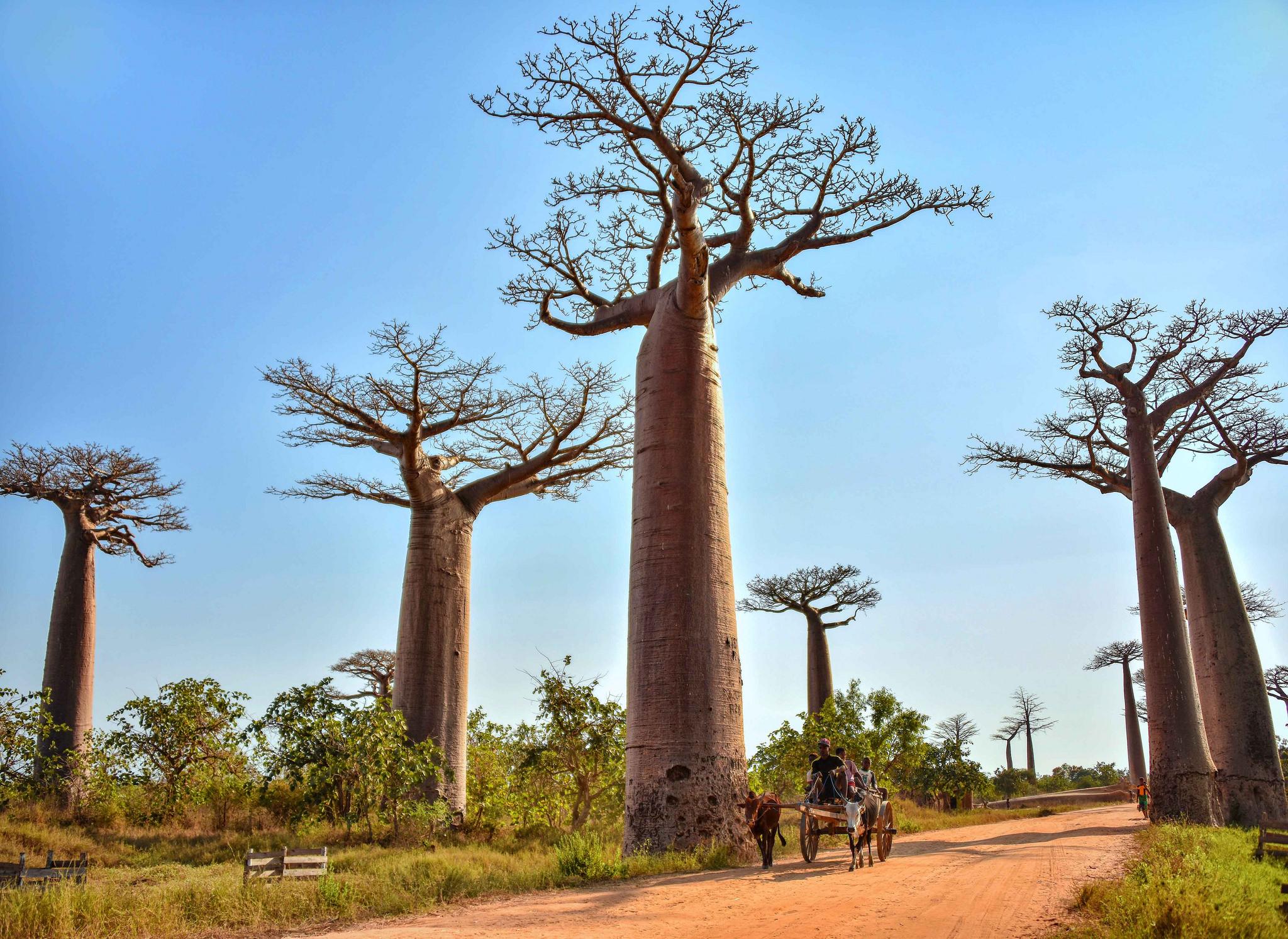 Фото баобабов на Мадагаскаре