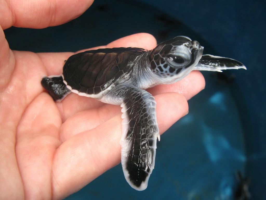 Фото черепашки в Центре по спасению морских черепах на Пенанге